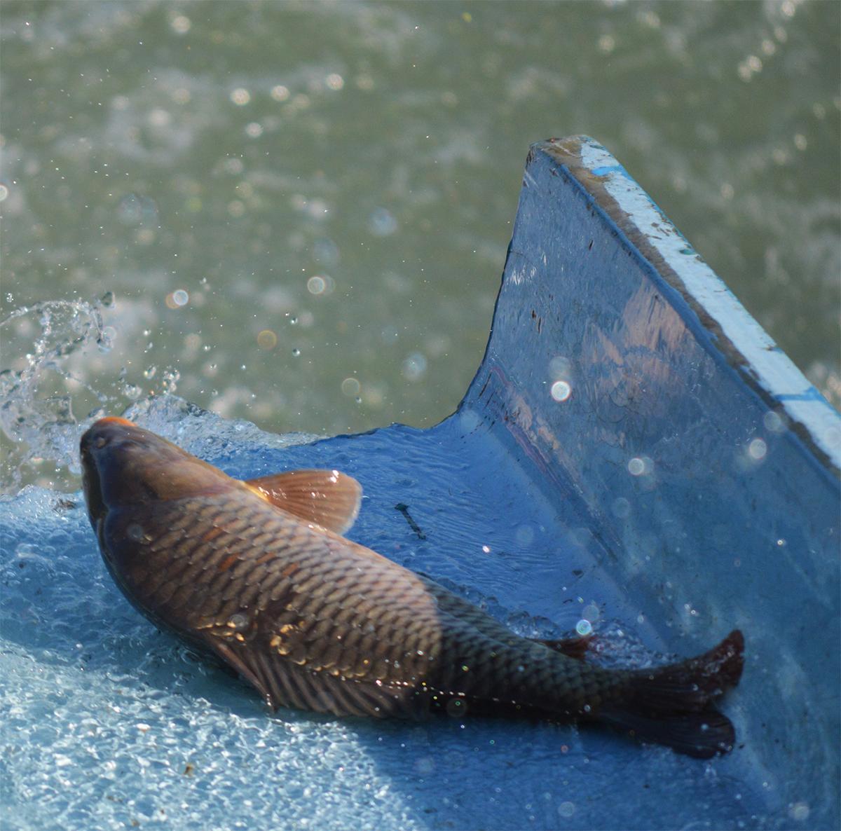 Fish Stocking in Nevada
